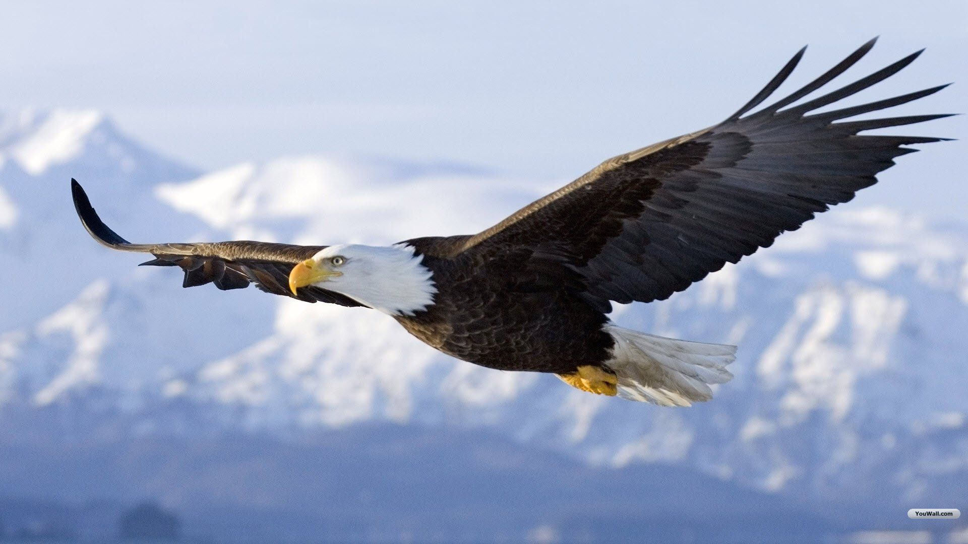 Pictures Of Eagle Flying