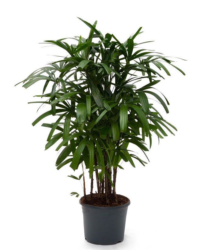 Broadleaf Lady Palm Rhapis Excelsa Growing Tips And Care Indoor Palm Trees Plants Palm Plant Care