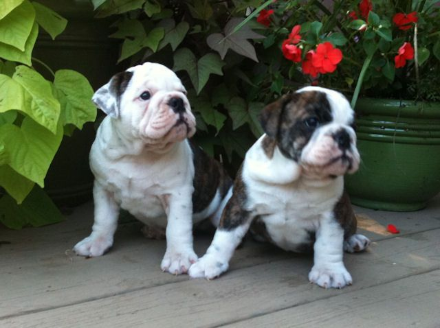 Wooded Acres English Bulldogs Of Sidney Ohio Is An In Home Breeder Of Top Quality Akc English Bulldog Puppies