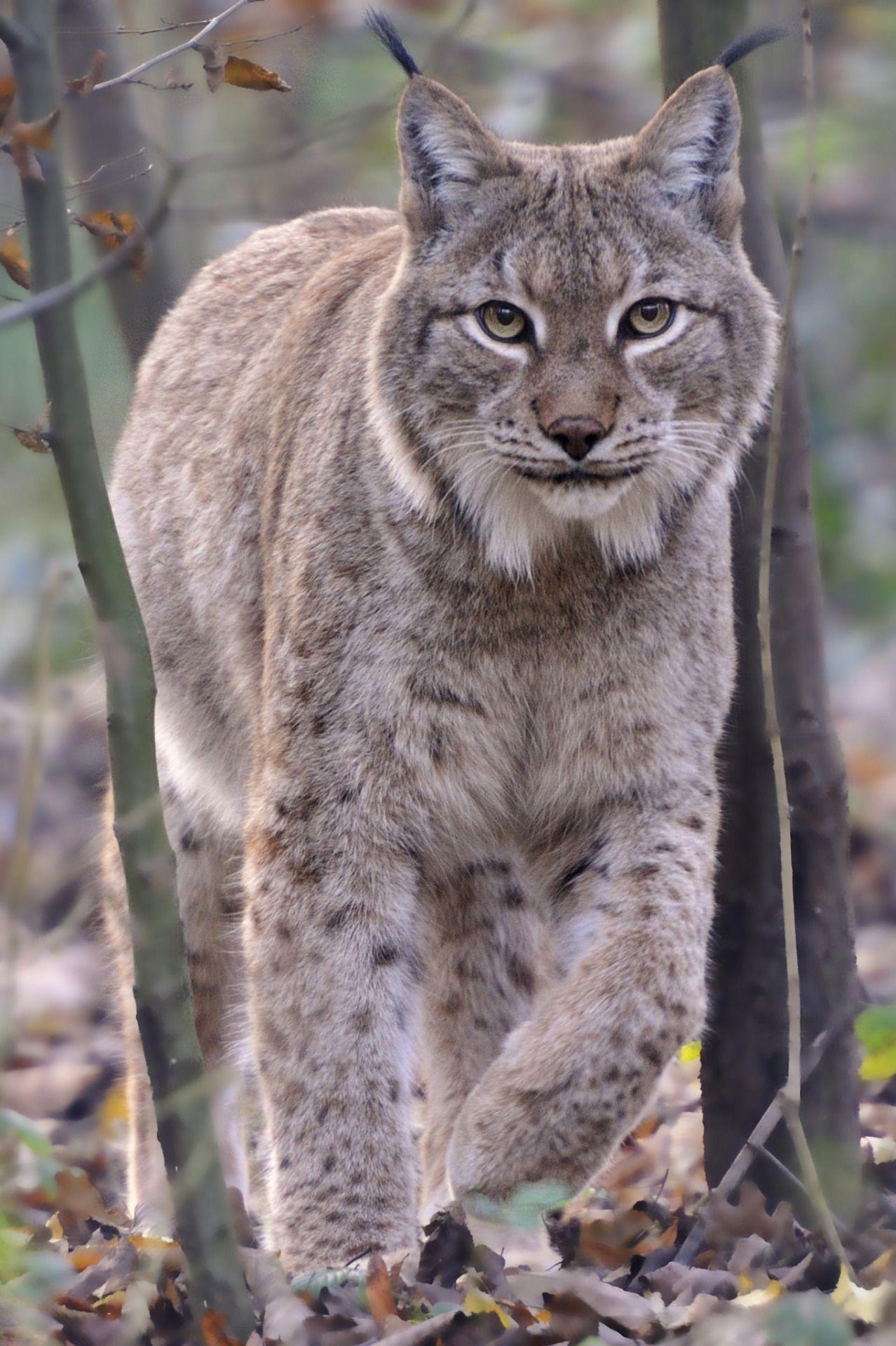 Eurasian lynx lynx eurasian lynx lynx cats - How do you make wild animal in little alchemy ...