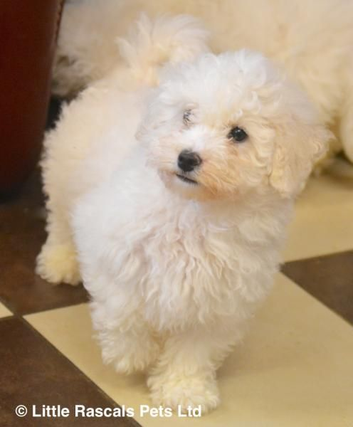 Poochon Babies Now Ready Designer And Cross Breed Puppies For Sale Puppies For Sale Puppies Poochon Dog