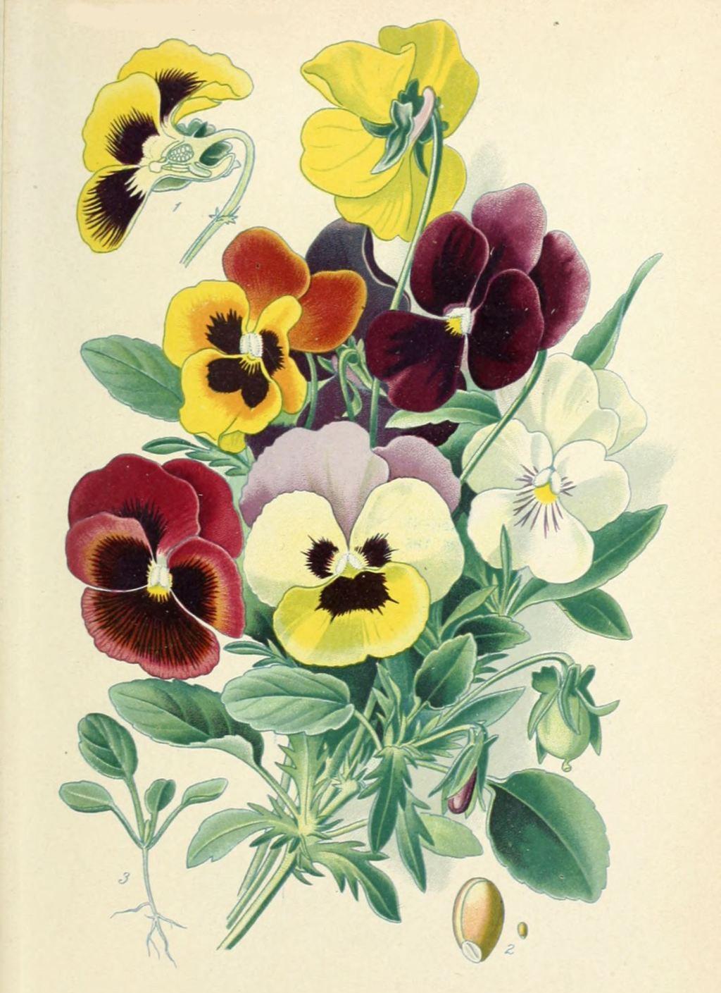 مدل نقاشی گل بنفشه | Graphics & Printables | Botanical ...