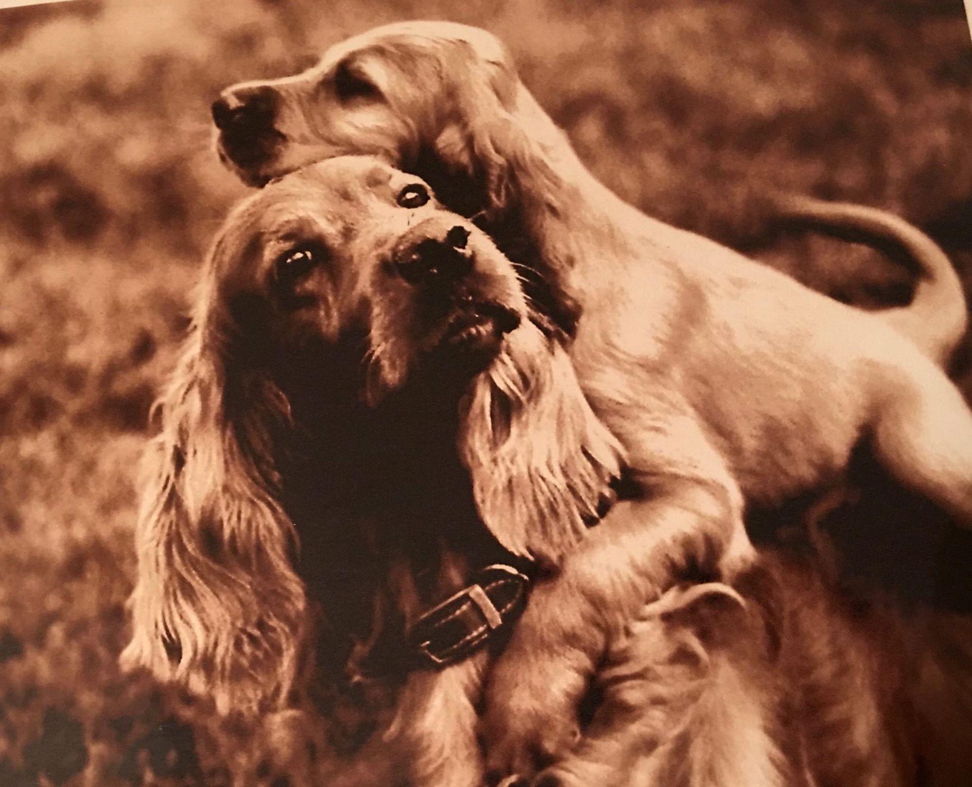 Pin By Suzanne Tyson On Irish Irish Setter Golden Cocker Spaniel Pet Dogs
