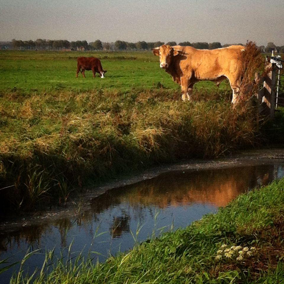 100happydays Day 31 Mooi Die Stier In Het Lage Zonnetje Stier