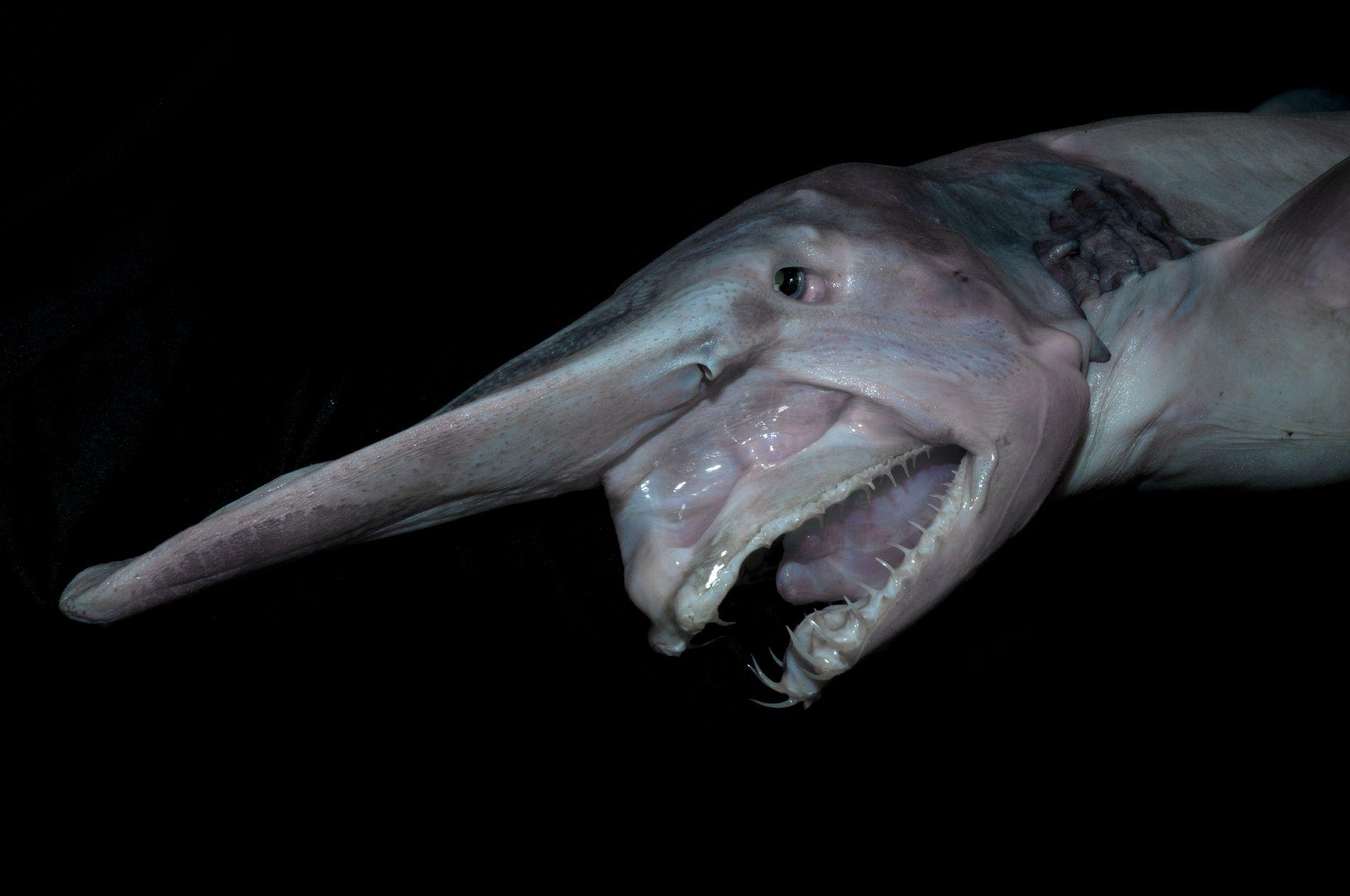 Little-studied goblin shark 24