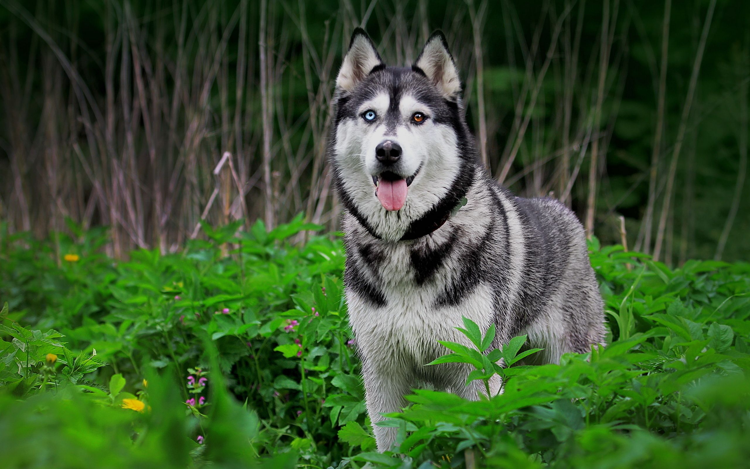 siberian husky dog full hd wallpaper wallpaper | places to visit