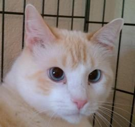 Coco is an adoptable Siamese Cat in Austin, TX. You can fill out an adoption application online on our official website. I am a very quiet boy. I am a little shy, but onceI getto know you, I won't ...