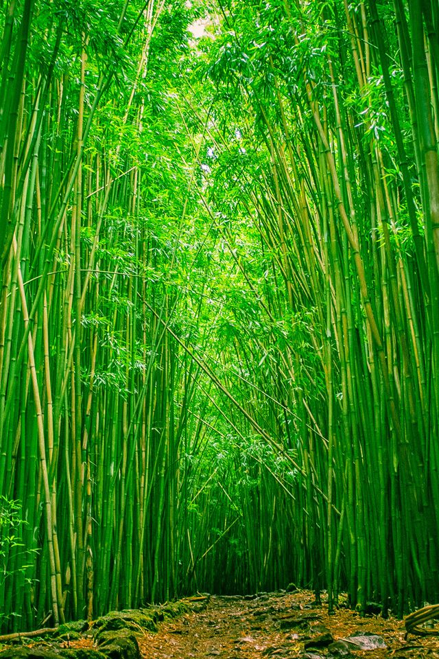 Bamboo Forest Wallpaper Bamboo Forest Nature Iphone