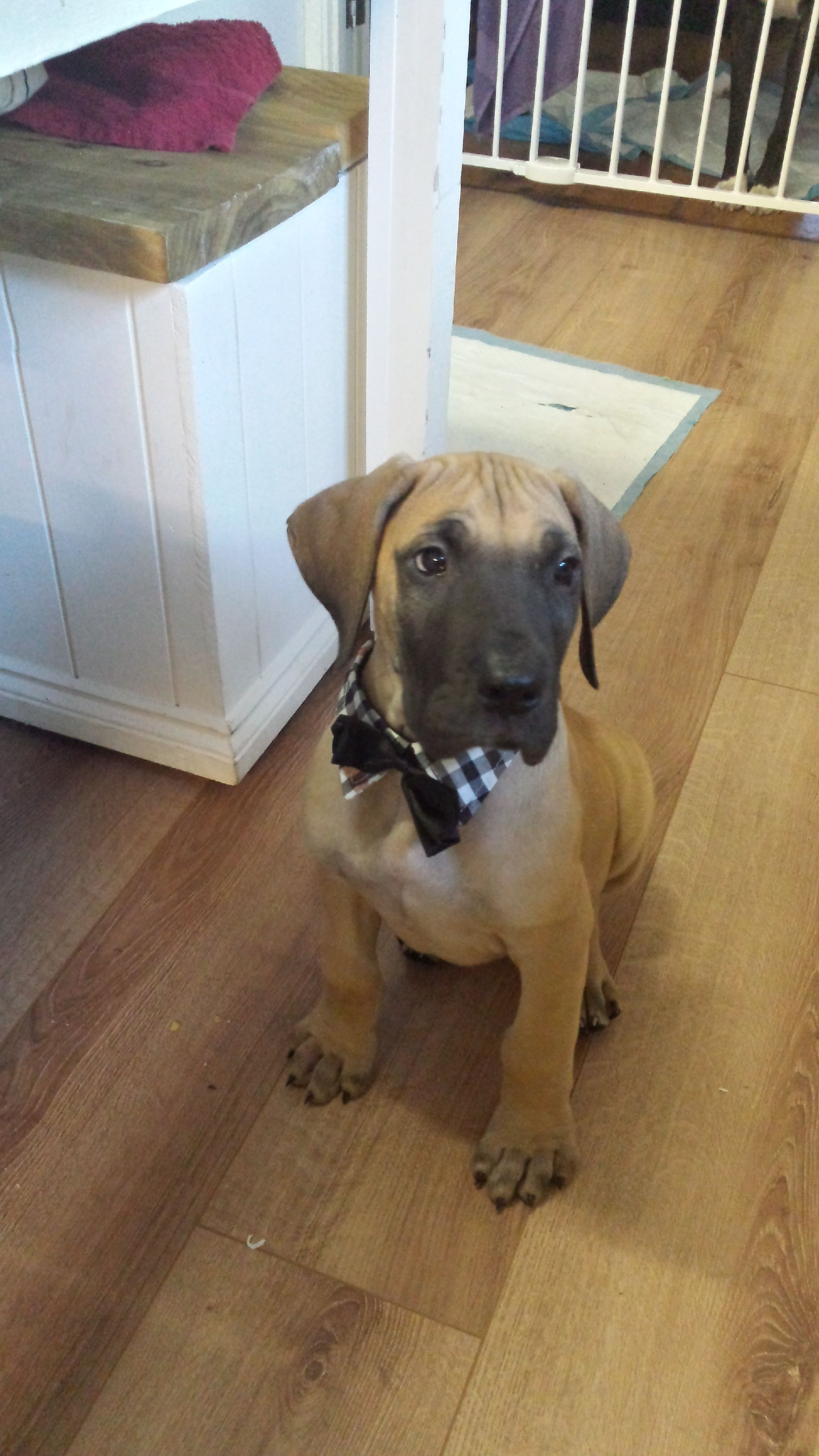 Jj Our Gorgeous 8 Week Old Fawn Great Dane Wearing A Cute Bow