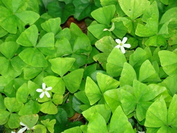 How to grow an oxalis shamrock plant shamrock plant plants and gardens - Shamrock indoor plant ...