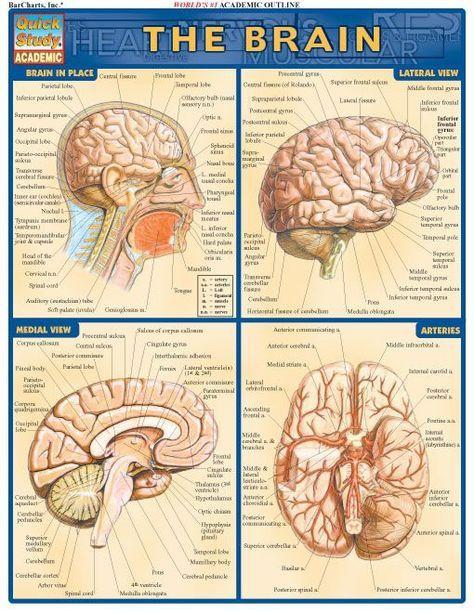 Brain | Brain science, Brain anatomy, Anatomy, physiology
