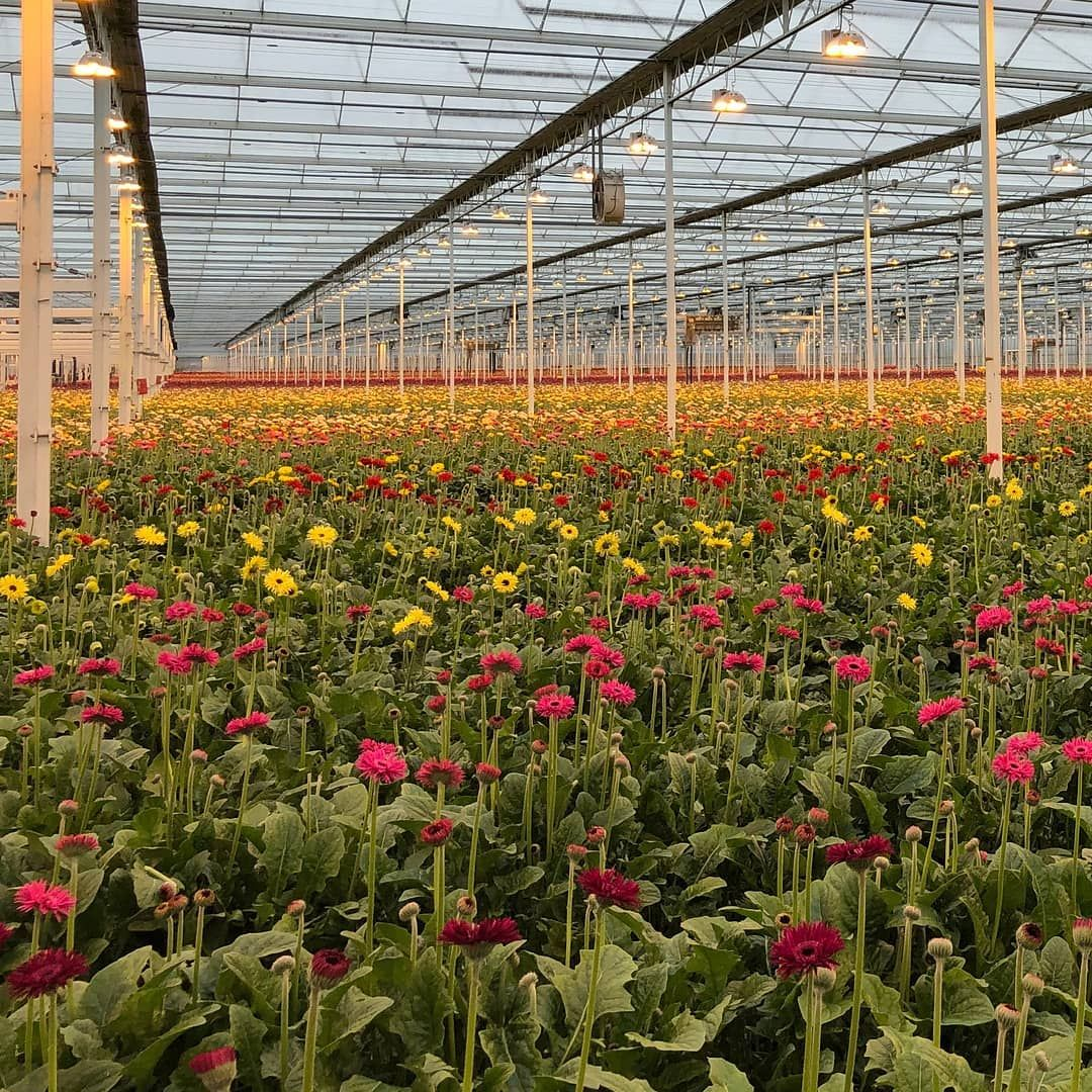Watch The Best Youtube Videos Online Like Tulip Fields But Than Inside A Greenhouse Greenhouse Green Plants Plan Tulip Fields Greenhouse Plant Lover