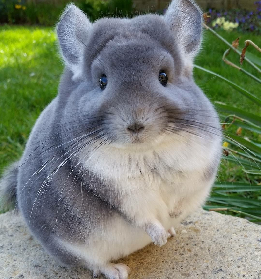 Chinchillas' butts are so round and fluffy, they look