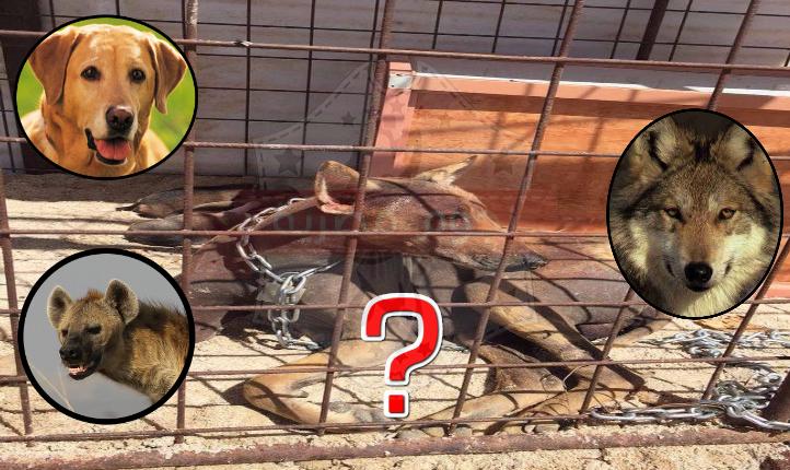 حيوان الشيب يظهر مرة أخرى في السعودية بمركز القصيباء Countries Of The World