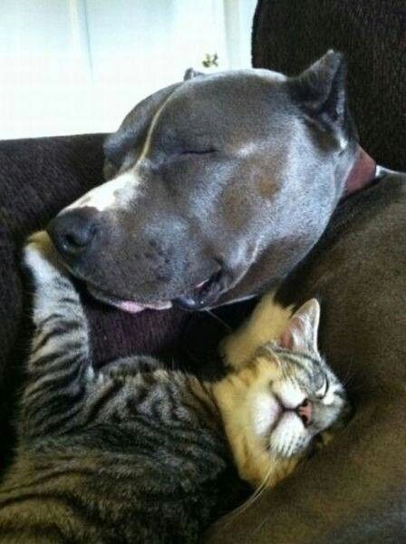 Peaceful Rest In The Arms Of A Pitty Hond Kat Schattige Dieren Honden