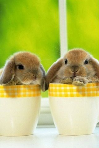 Baby dwarf lop bunnies in coffee cups!