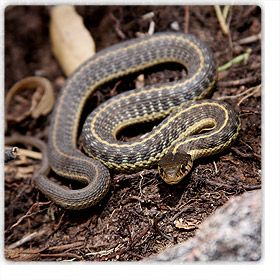 Snakes In Phoenix And Rattlesnakes Of Arizona Safe And Humane Rattle Snake Removal Snake Snake Removal Pit Viper