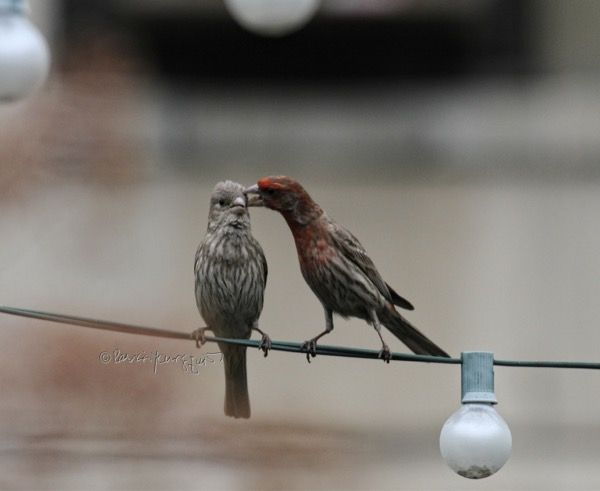 #Housefinches the bird type seen here and who visit my # ...