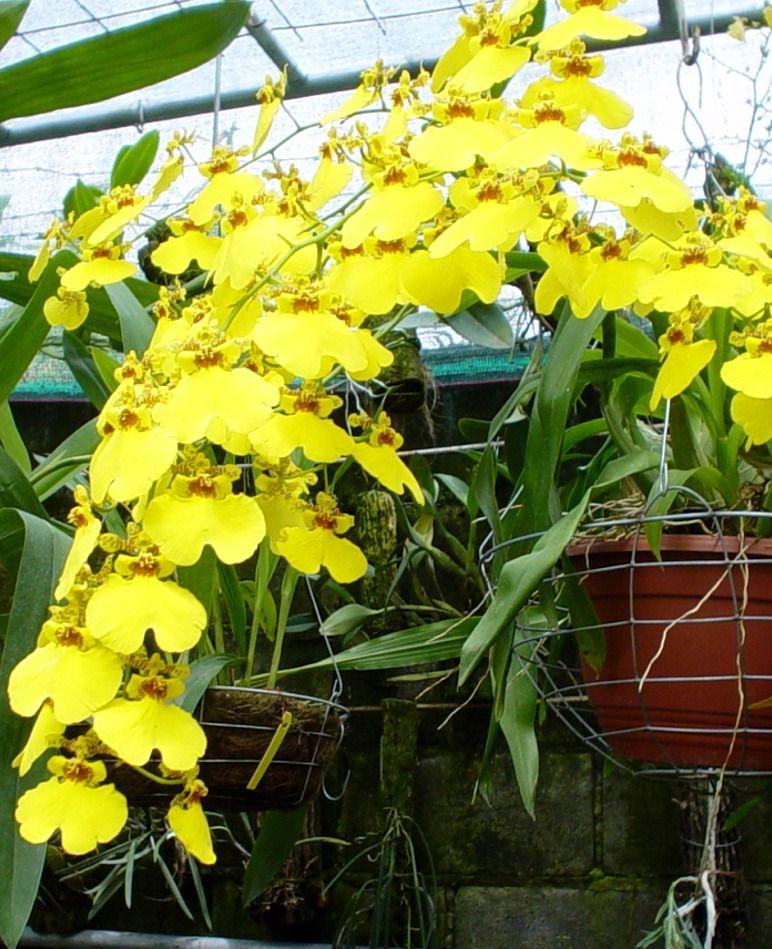 Cuidar las orqu deas en casa orchid plant pinterest - Cuidar orquideas en casa ...