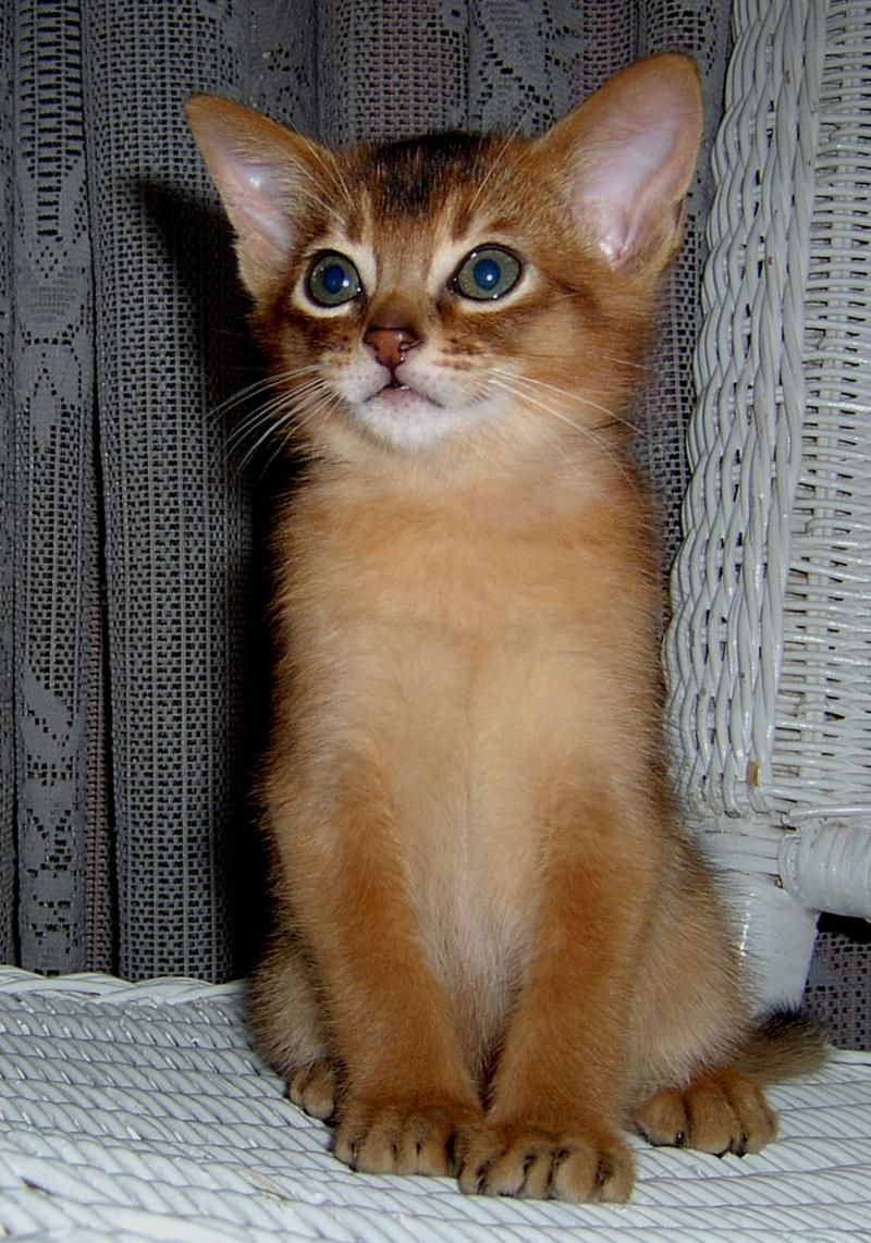 Abyssinian kitten | those amazing creatures | Pinterest ...