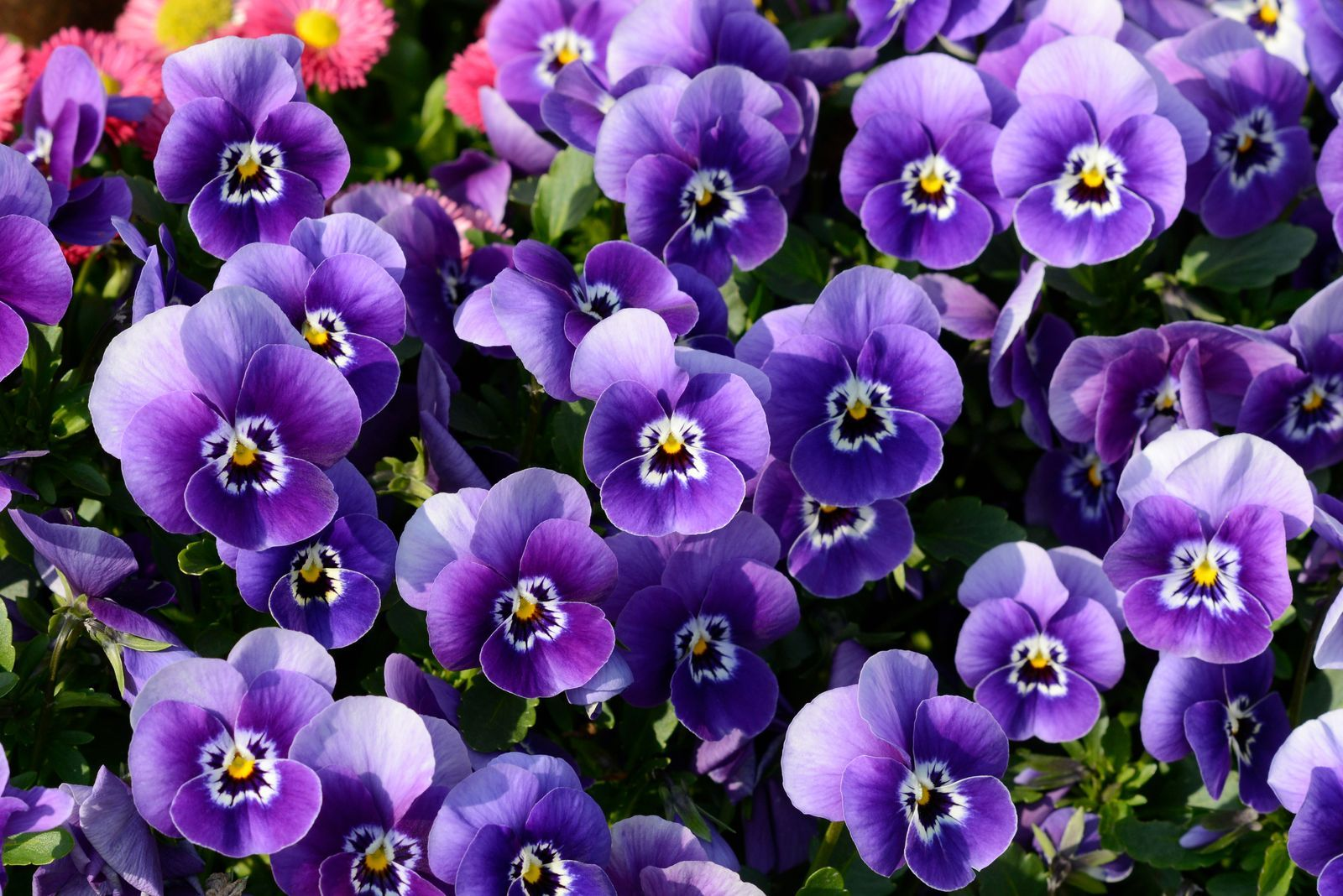 Winterharte Blumen Die Robusten Top 10 Fur Ihren Garten Plantura Winterharte Blumen Winterhart Winterharte Pflanzen