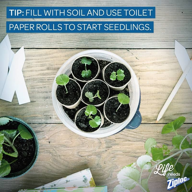 Easy seedling starter kit! Just fill a Ziploc brand container with soil, then use toilet paper rolls to section off little seedlings. Wait a few weeks (depending on the plants) and move them into the garden!