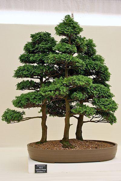 Hinoki Cypress Chamaecyparis Obtusa Tree Seeds Evergreen Bonsai Tree Seeds Bonsai Tree Indoor Bonsai Tree