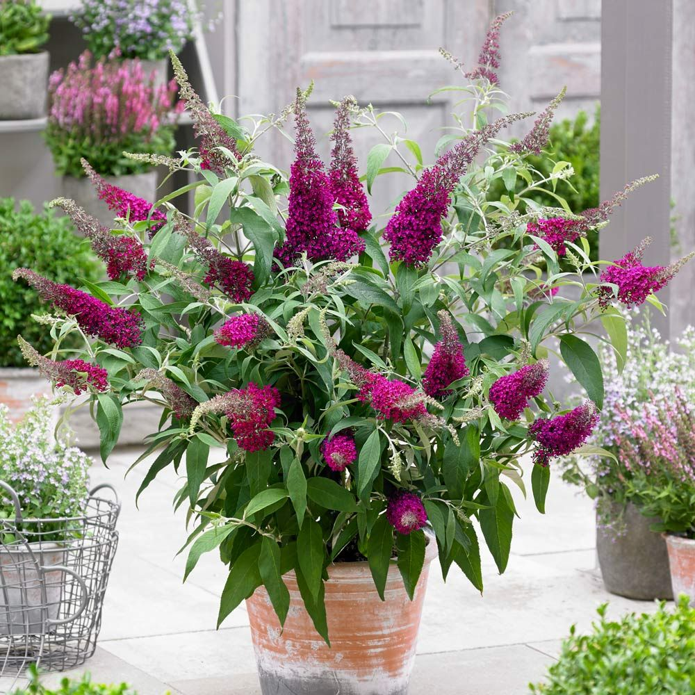 Buddleia Sugar Plum In 2020 Colorful Flowers Planting Flowers Red Flowers