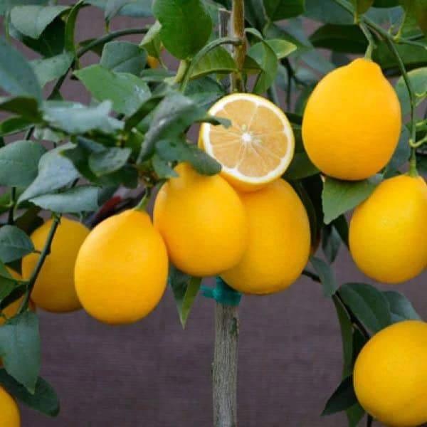Improved Meyer Semi Dwarf Lemon Tree Dwarf Fruit Trees Meyer Lemon Tree Eureka Lemon Tree