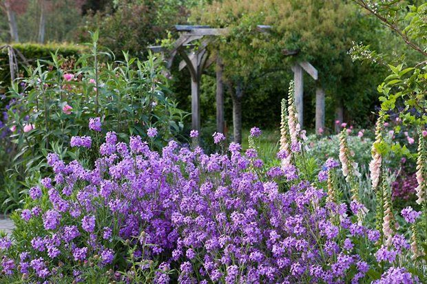 The Cottage Garden With Erysium Bowles Mauve And Foxgloves At