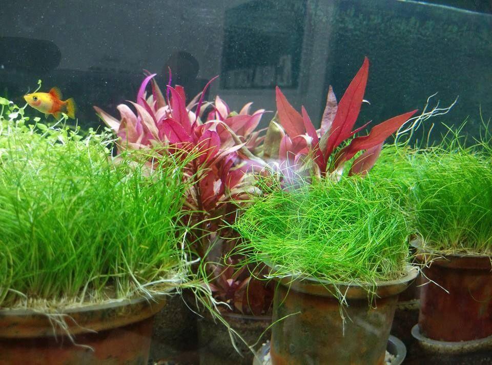 HAIRGRASS JAPAN | Aquascaping plants, Aquascape