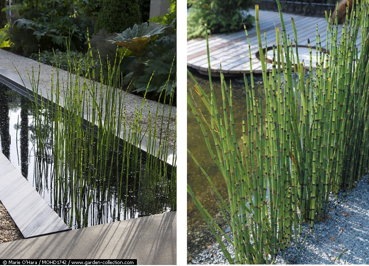 Equisetum estanques gardening pinterest estanques for Estanque pileta