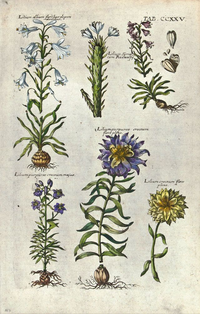 Pin By Jordi Heeneman On Vintage Botanicals Botanical Drawings Botanical Illustration Botanical Art