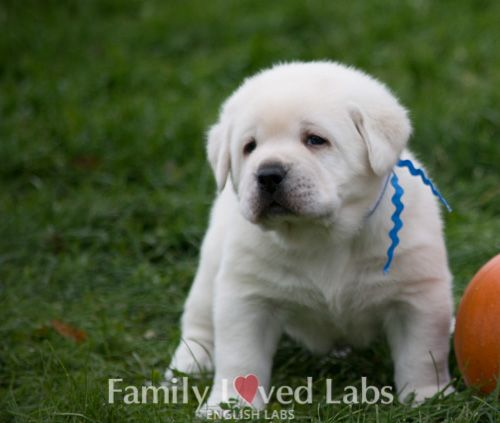 White English Lab Puppies - AKC registered - English Lab