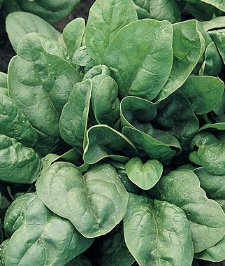 100 Seeds Spinach Spinacia oleracea Herb Plants Edible Vegetables in Home Garden