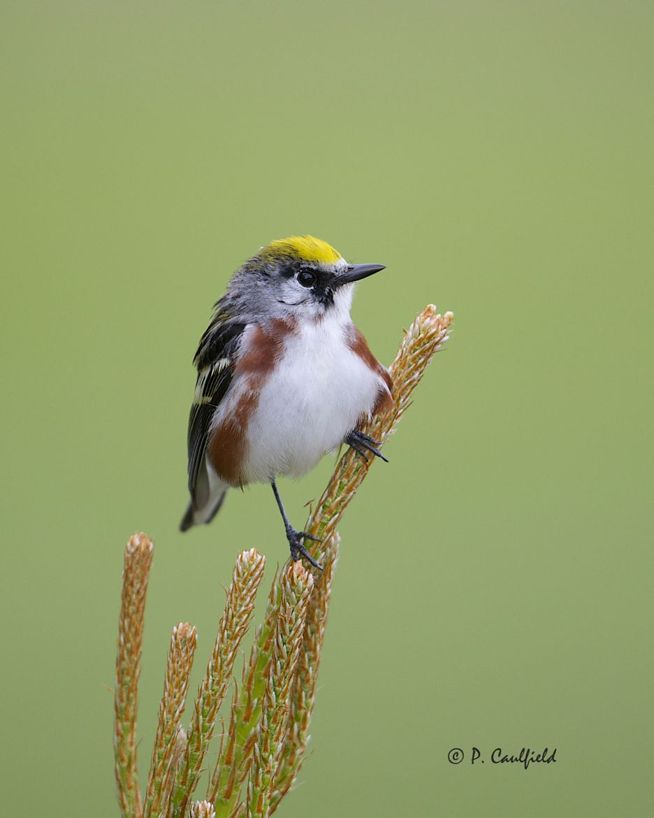 Photograph Chestnut-sided Warbler by Peter Caulfield on 500px