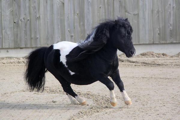 Reut - Bild 8 der Kleinanzeige Shetland Pony DECKHENGST RAINBOW ANGEL