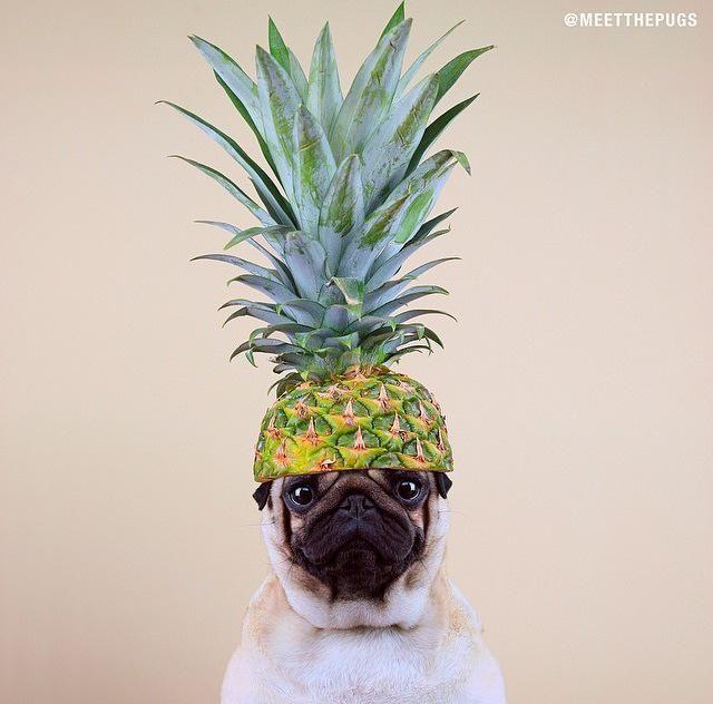 Pug & Pineapple