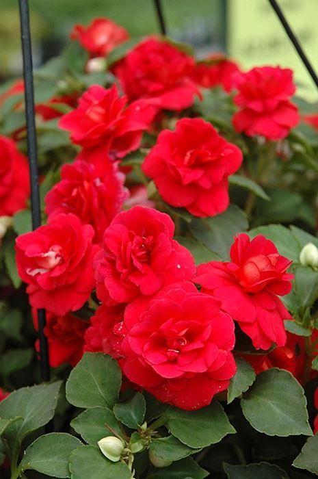 Double Impatien Our Plants Double Impatiens Impatiens Flowers Flower Pots