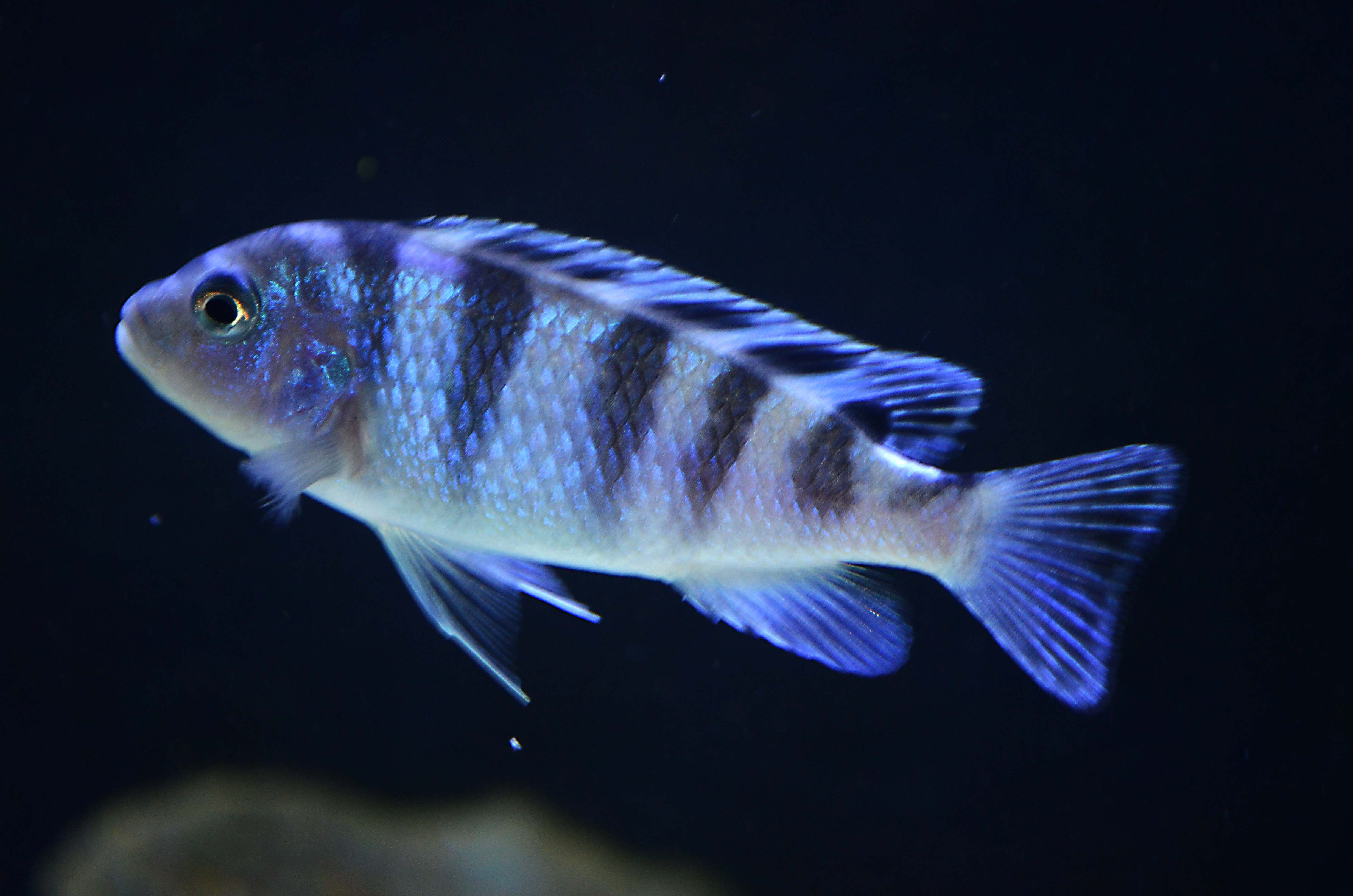 Kenyi cichlid images google search amazing african for African cichlid fish