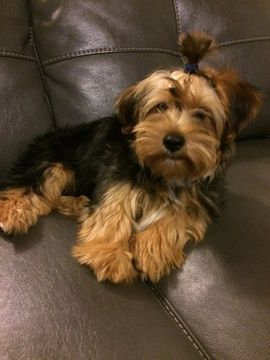 Yorkshire Terrier puppy for sale in VANCOUVER, WA  ADN-58494 on