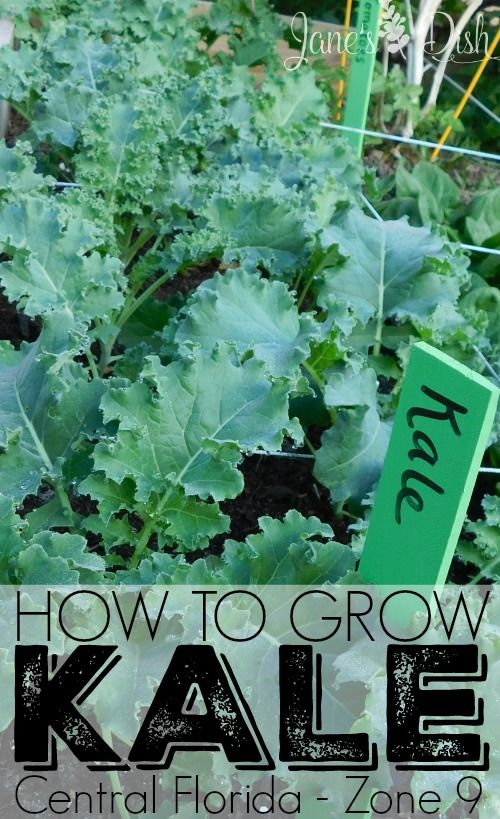 Beginneru0027s Guide On How To Grow Kale (Central Florida   Zone 9)