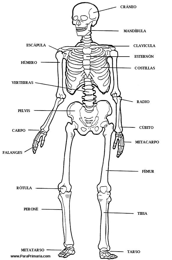 Cuerpo Humano para Primaria | Health | Pinterest | Cuerpo humano ...