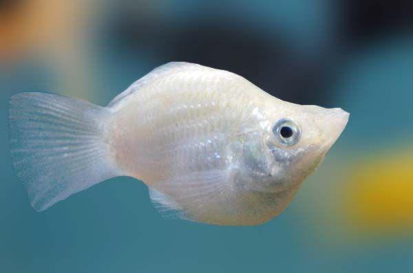 Pin By John Johnson On Fresh Water Fish Molly Fish Fish Pet Animals Images