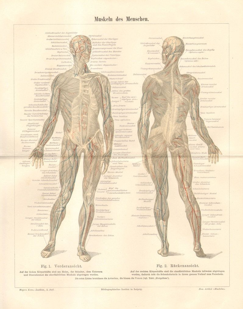 1896 Muscles of the Human Body Original Antique Lithograph | Pinterest