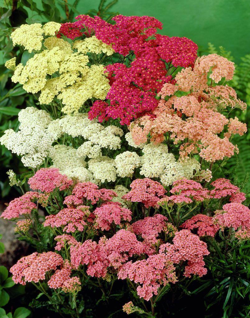 Mix Of Common Yarrow Pollinator Garden Yarrow Plant Small Flower Gardens