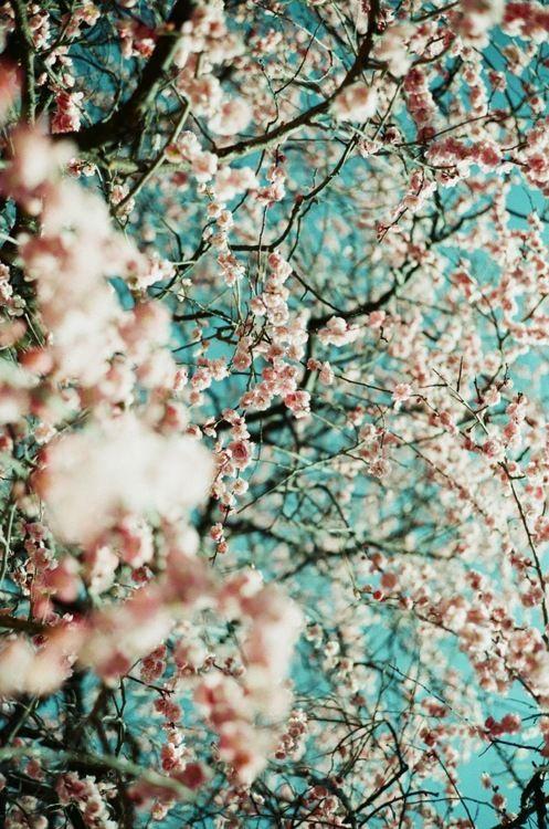 Cherry Blossoms Always Make Me Smile Mawar Cantik Wallpaper Bunga Bunga