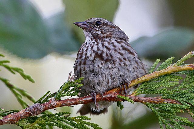 towhee bird coastal british columbia - Yahoo Image Search Results