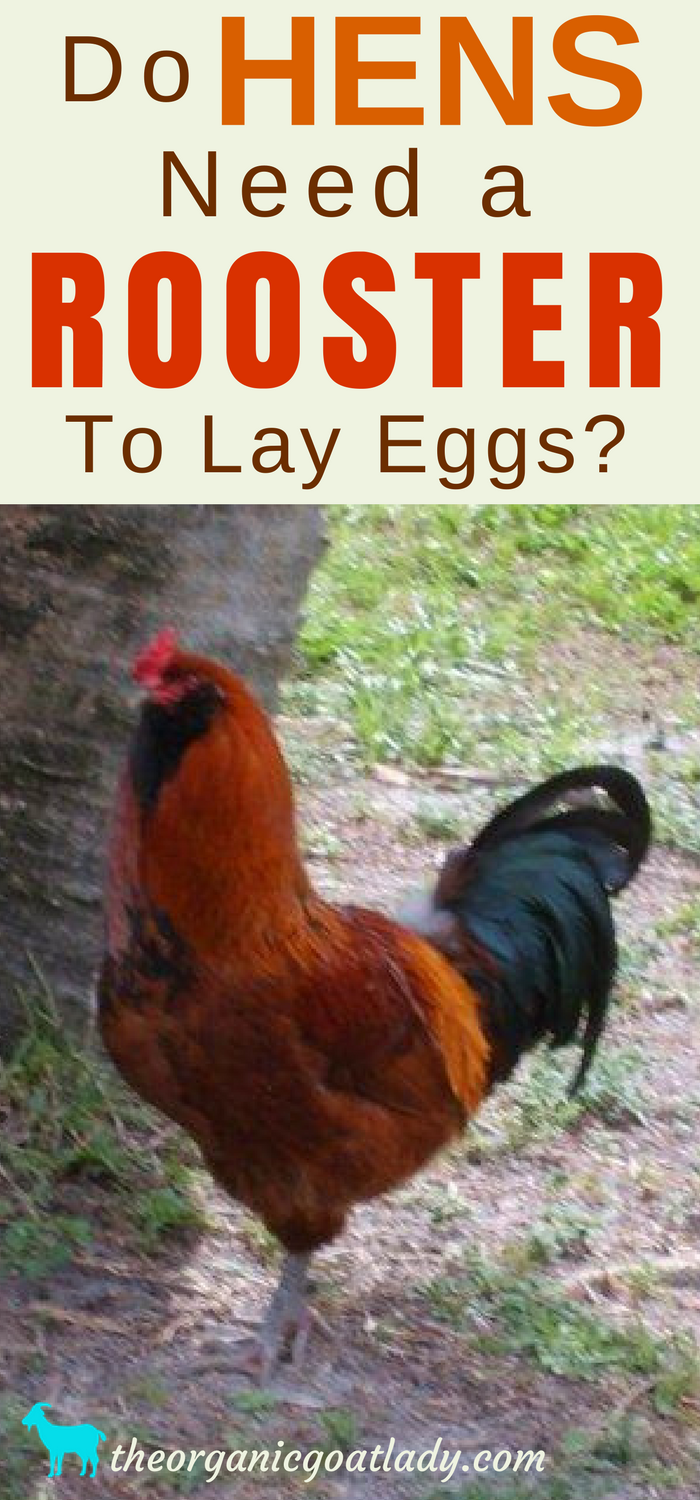 Do Hens Need A Rooster To Lay Eggs? | Raising backyard ...