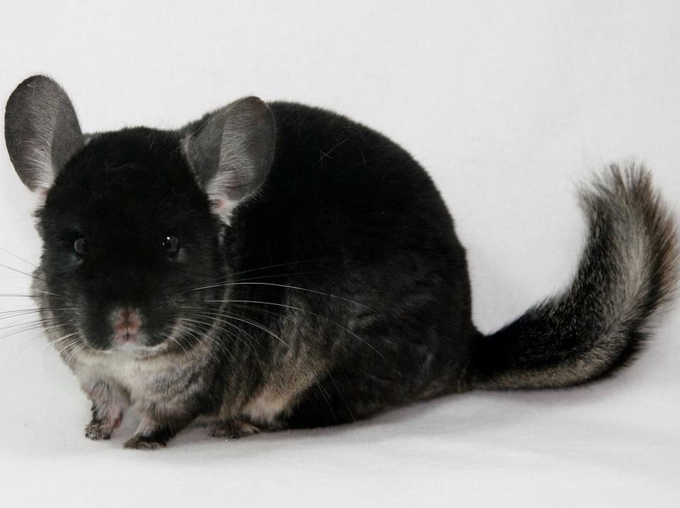 Black velvet chinchilla...chinchillas.com | Chinchillas ...